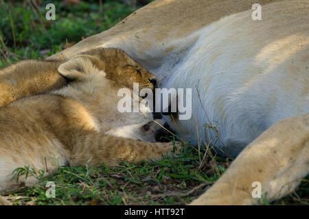 Two African lion (Panthera leo) cubs fallen asleep while nursing, Masai Mara National Reserve, Kenya, East Africa