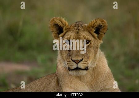 African lion (Panthera leo) juvenile portrait, Masai Mara National Reserve, Kenya, East Africa - Stock Photo