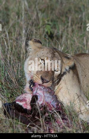 African lion (Panthera leo) female feeding on a kill, Masai Mara National Reserve, Kenya, East Africa - Stock Photo