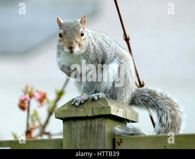 Grey Squirrel sitting on garden fence post after eating peanuts from garden feeder. - Stock Photo