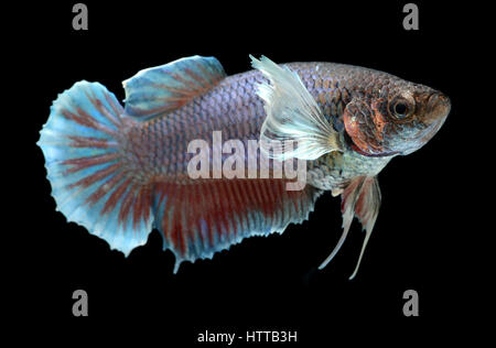 Colorful  waver of female  Betta Saimese fighting fish  beauty and freedom in black background photo with studio - Stock Photo