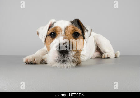 Parson Russell Terrier - Male - 8 months old - Stock Photo