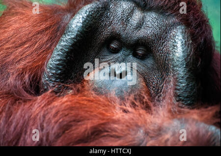 Dominant male orangutan with the signature cheek pads that  develope in response to a testosterone surge - Stock Photo