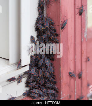 A large group of Box Elder (Boisea trivittata) bugs emerging after hibernating during winter - Stock Photo
