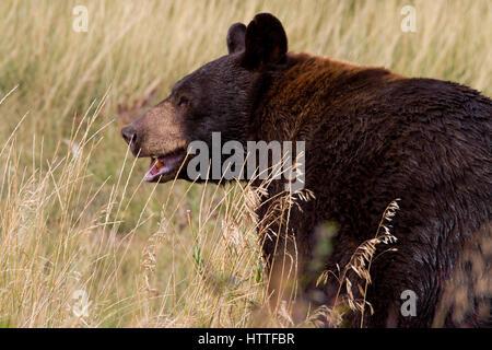 Black Bear (Ursus americanus) feeding in grassland in Waterton Lakes National Park, Alberta, Canada - Stock Photo