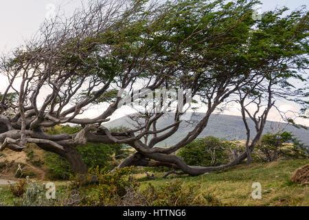 Tree deformed by the wind in Tierra del Fuego - Stock Photo