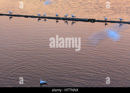 Black-headed Gulls (Chroicocephalus ridibundus) in winter plumage at Vltava river. Prague. Bohemia. Czech Republic. - Stock Photo