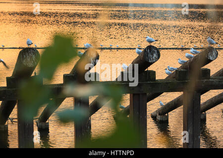 Black-headed Gulls (Chroicocephalus ridibundus) in winter plumage resting at Vltava river. Prague. Bohemia. Czech - Stock Photo