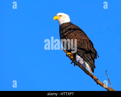 Bald Eagle perched on tree limb on sunny day with clean blue sky - Stock Photo