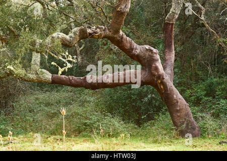 Cork Oak tree, Quercus suber,  Alentejo, Portugal. - Stock Photo