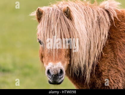 A mini horse looking straight at the camera. - Stock Photo