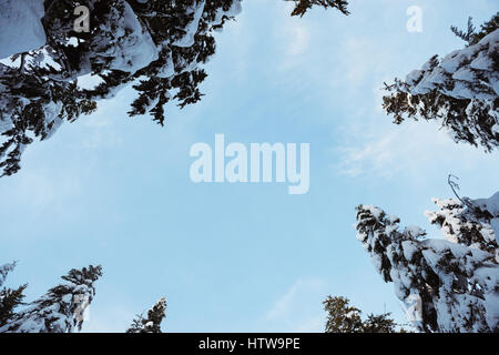 View of snow covered pine trees against blue sky - Stock Photo