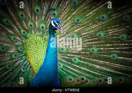 Peacock spreading tail - Stock Photo