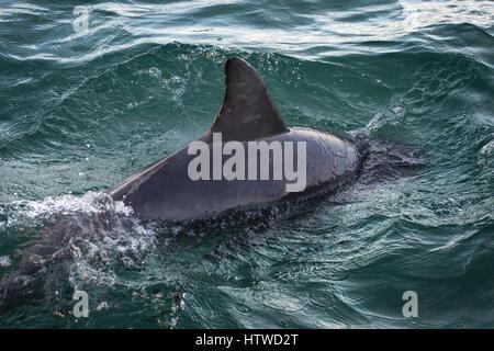 Bottlenose Dolphin (Tursiops Truncates) - Stock Photo