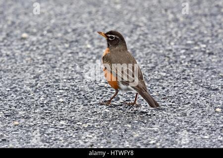 An American robin (Turdus migratorius) standing on pavement - Stock Photo