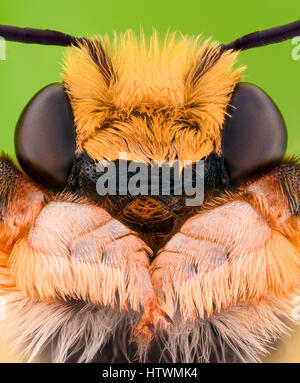 Extreme magnification - Solitaire Bee Megachilidae - Stock Photo