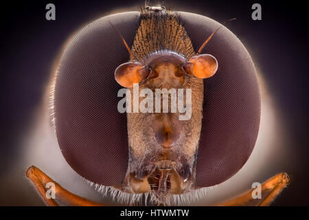 Extreme magnification - Hoverfly, front view - Stock Photo