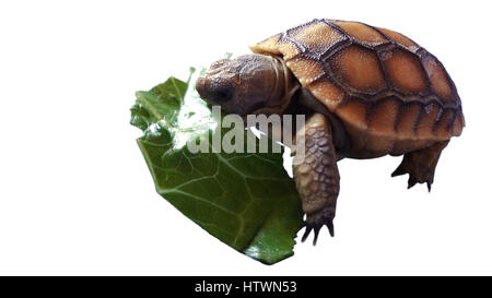 isolated baby tortoise eating a leaf - Stock Photo