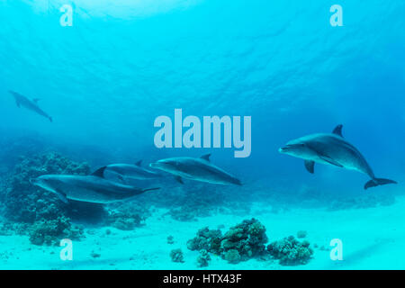 Bottlenose dolphins (Tursiops truncatus), Red Sea, Egypt - Stock Photo