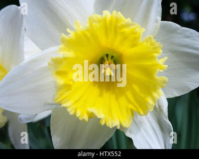 A gorgeous white and yellow daffodil - Stock Photo