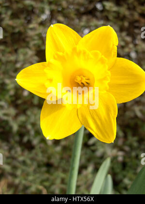 A gorgeous daffodil on display, close-up. - Stock Photo