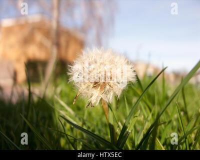 A gorgeous dandelion. - Stock Photo