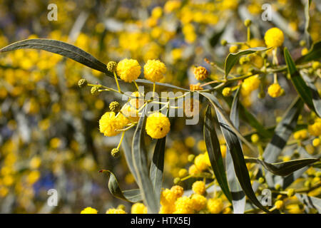 Yellow ball of mimosa flowers woman s day eight of march stock yellow ball of mimosa flowers woman s day 8 march stock photo mightylinksfo
