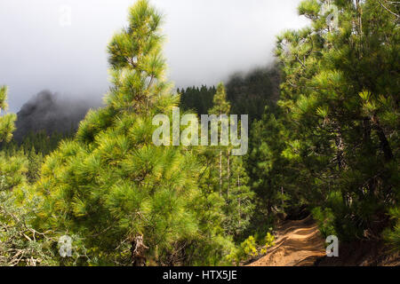 Beautiful panorama of pine forest with sunny summer day. Coniferous trees. Sustainable ecosystem. Tenerife, Teide - Stock Photo