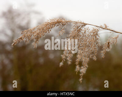 A shot of a crisp hanging reed. - Stock Photo