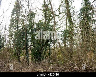 Some tall trees in the wooded area of the Wivenhoe lakes. - Stock Photo