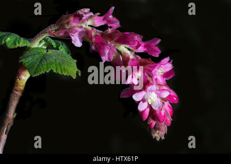 Pink flowers of Chaparral Currant, Ribes malvaceum, against black background - Stock Photo