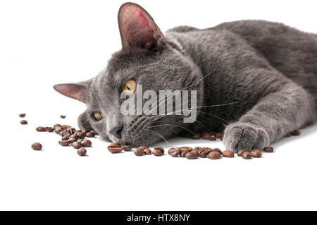 Coffee beans, siberian blue cat lies on a white background next - Stock Photo