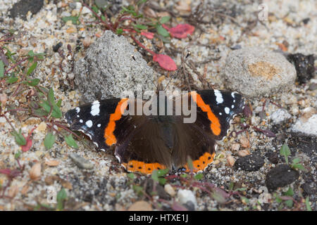 Close-up of red admiral butterfly (Vanessa atalanta) basking with open wings on the ground - Stock Photo