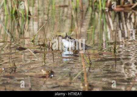 Male frog (Rana temporaria) croaking in breeding pond in Spring - Stock Photo