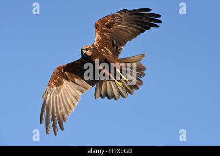 western marsh harrier, Circus aeruginosus flying - Stock Photo