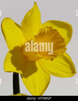 daffodils or daffs on a dark and white backgrounds as single and a pair of flowers on a bright sunny day in the - Stock Photo