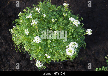 Pritzelago Ice Cube in flower in March ready to be planted in a flower bed for alpine plants - Stock Photo