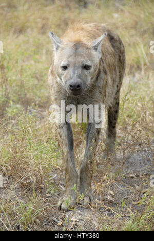 Spotted Hyena, Kruger National Park, South Africa - Stock Photo