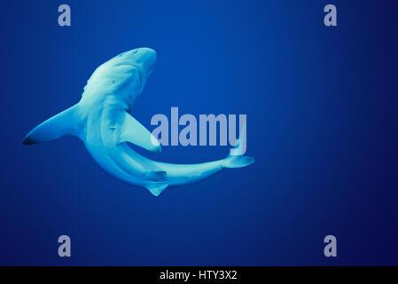 Juvenile Oceanic Blacktip Shark (Carcharhinus limbatus), Cocos Island, 320 miles off Costa Rica - Pacific Ocean. - Stock Photo