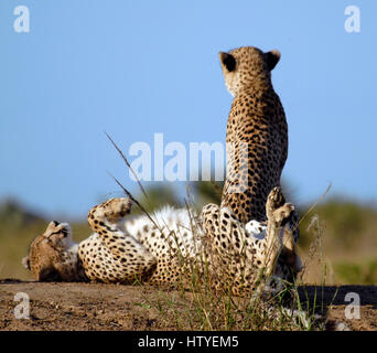 Cheetah, Phinda Private Game Reserve, South Africa - Stock Photo