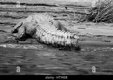 The tail of a basking American Crocodile - Stock Photo