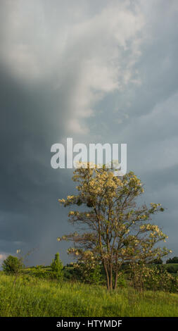 blossoming acacia tree against the background of rain clouds. Ukraine. Europe. - Stock Photo