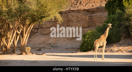 A Giraffe standing in the dry Hoanib River Bed near the Wilderness Safaris Skeleton Coast Camp. - Stock Photo