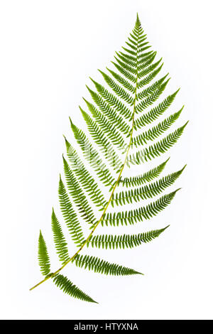 Fern leaf close up cut out isolated on white background. - Stock Photo