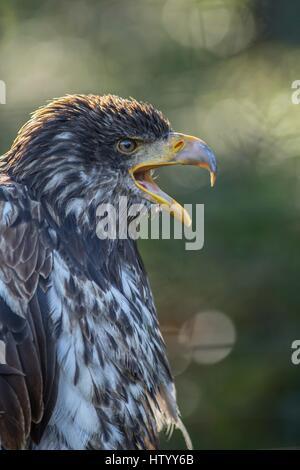 American eagle - Stock Photo