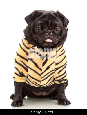 Small black pug puppy dog dressed up in tiger print hoodie pet clothing isolated on white background  Model Release: - Stock Photo
