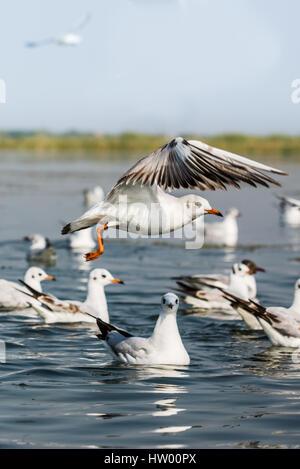 Migratory bird Seagull swimming at Nalsarovar Bird Sanctuary - Stock Photo