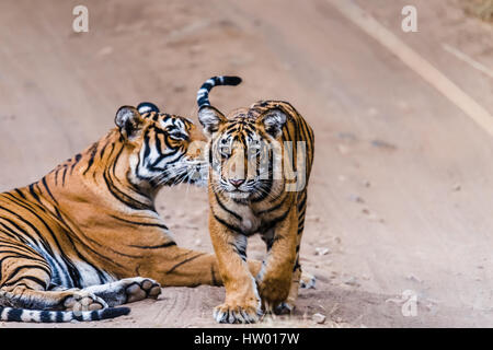 Royal Bengal Tigress with her 8 months cub at Ranthambore Tiger Reserve - Stock Photo