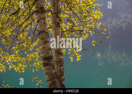Sun shines through the Fall foliage of two cottonwood trees growing close together.  Aquamarine colour background - Stock Photo