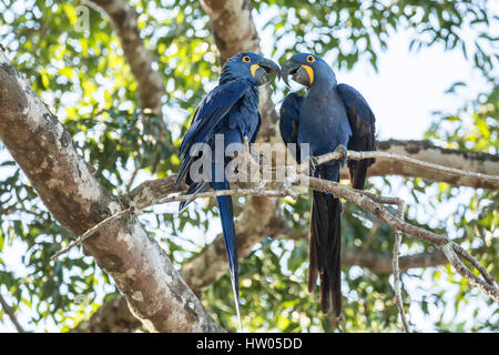 Mated pair of Hyacinth Macaws showing affection as they perch in a tree in the Pantanal region, Mato Grosso, Brazil, - Stock Photo